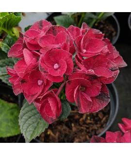 Hydrangea macrophylla Magical Amore (3lt)