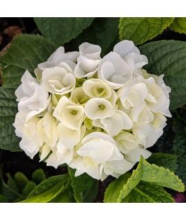 Hydrangea macrophylla Magical Bride (3lt)