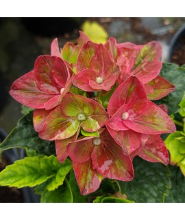 Hydrangea macrophylla Magical Crimson (3lt)