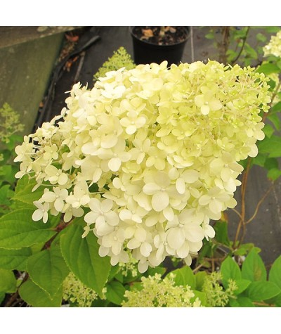 Hydrangea paniculata Limelight (3lt)