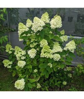Hydrangea paniculata Magical Candle (Bokraflame) (3lt)