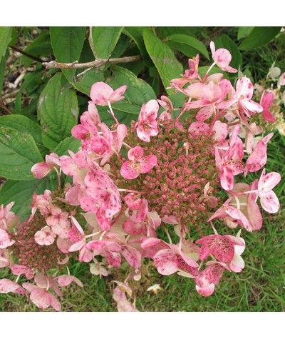 Hydrangea paniculata Wim's Red (2lt)
