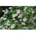 Hydrangea quercifolia (3lt)