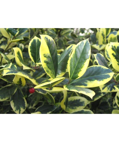 Ilex x altaclarensis Golden King (7.5lt)