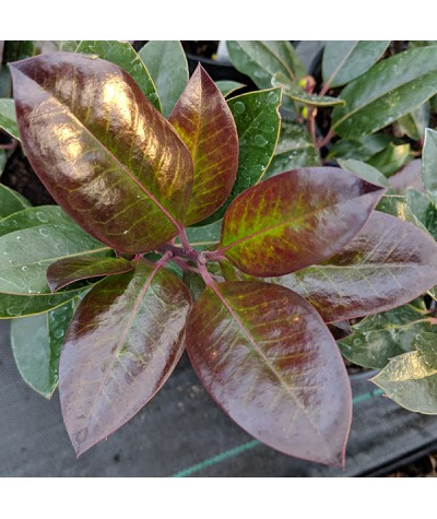 Ilex x altaclarensis Camelliifolia (2lt)