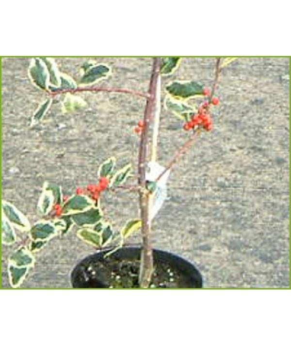 Ilex aquifolium Argentea Marginata Pendula (3lt)