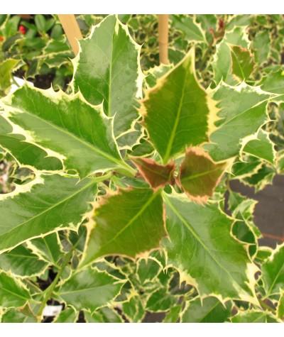 Ilex aquifolium Argentea Marginata (5lt)