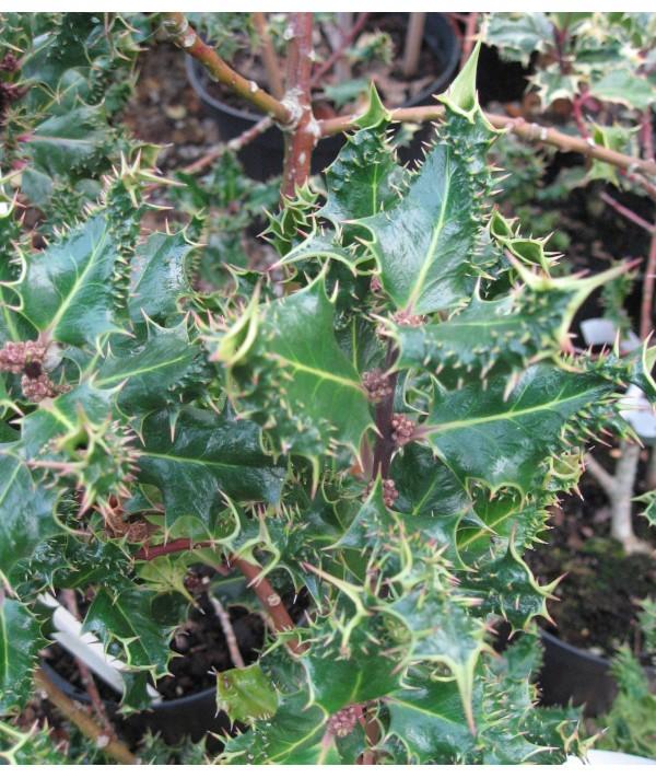 Ilex aquifolium Ferox (15lt)