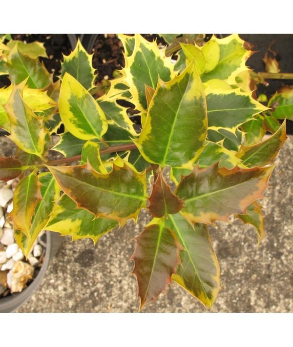 Ilex aquifolium Madame Briot (10lt)