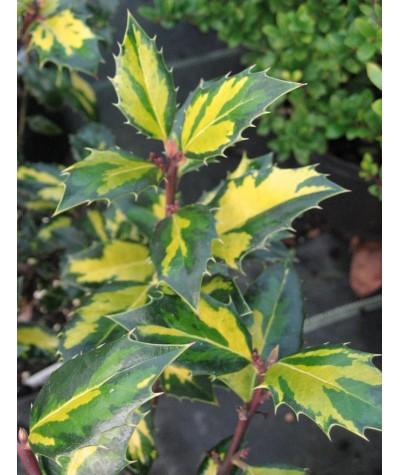 Ilex aquifolium Myrtifolia Aurea Maculata (3lt)