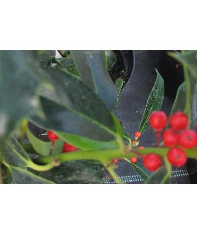 Ilex aquifolium Pyramidalis (7.5lt)