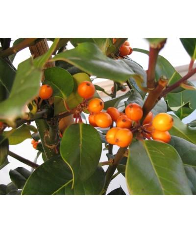 Ilex aquifolium Yellora (40lt)