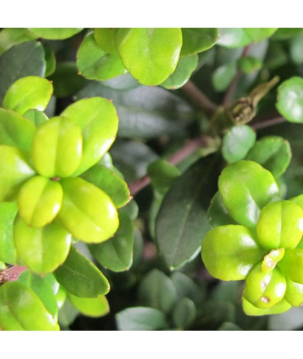 Ilex crenata Dark Green 35cm balls (10lt)