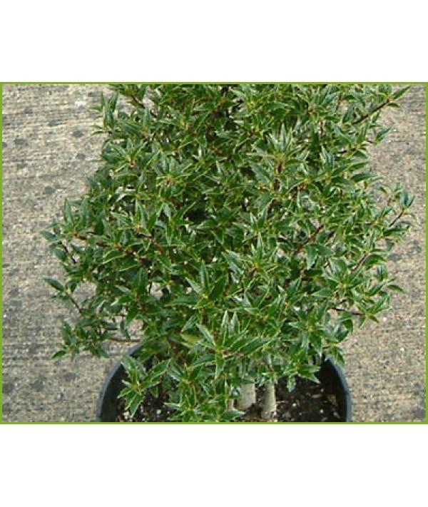 Ilex aquifolium myrtifolia (2lt)