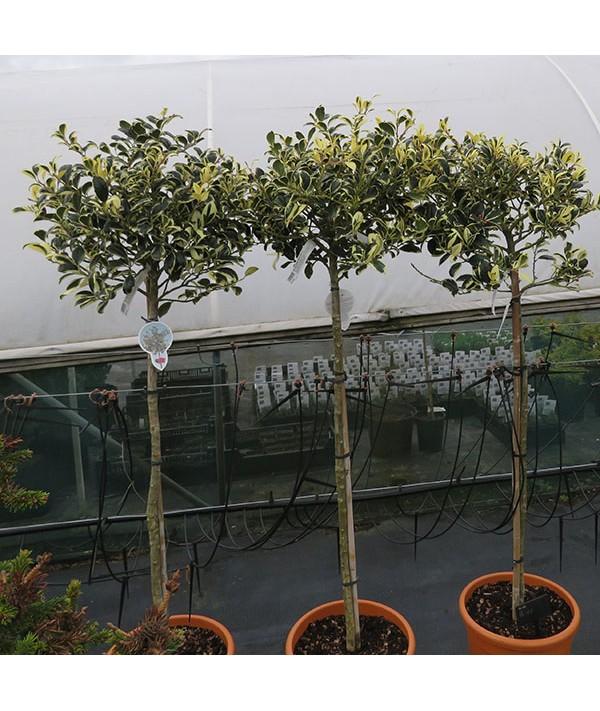 Ilex aquifolium Silver Van Tol (60cm standard) (7.5lt)