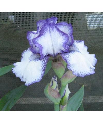 Iris Bold Print (IB) (2lt)