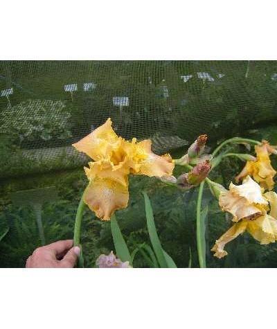 Iris Butterscotch Kiss (TB) (2lt)