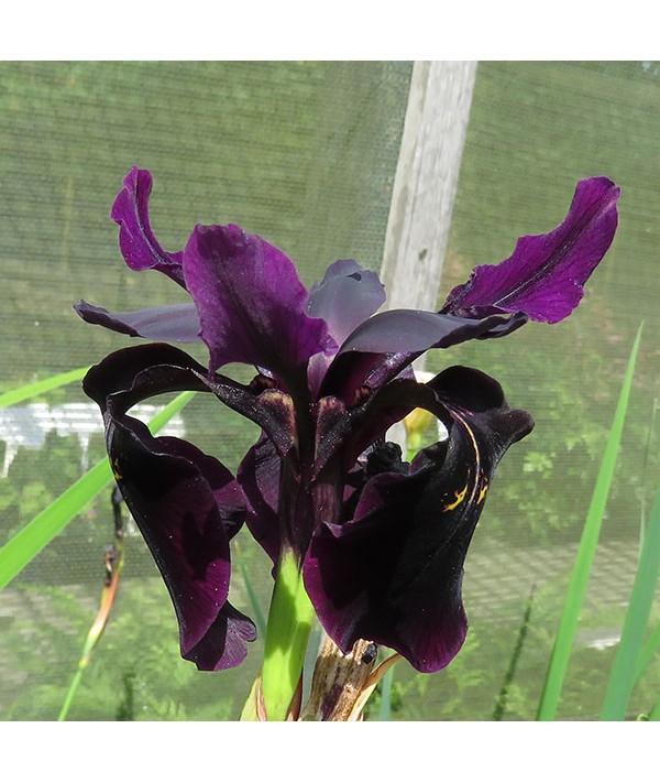 Iris chrysographes (2lt)