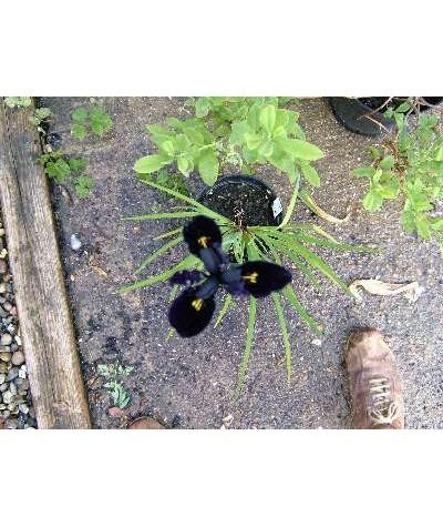 Iris chrysographes Black Form (1.5lt)