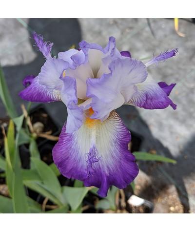 Iris Conjuration (TB) (3lt)