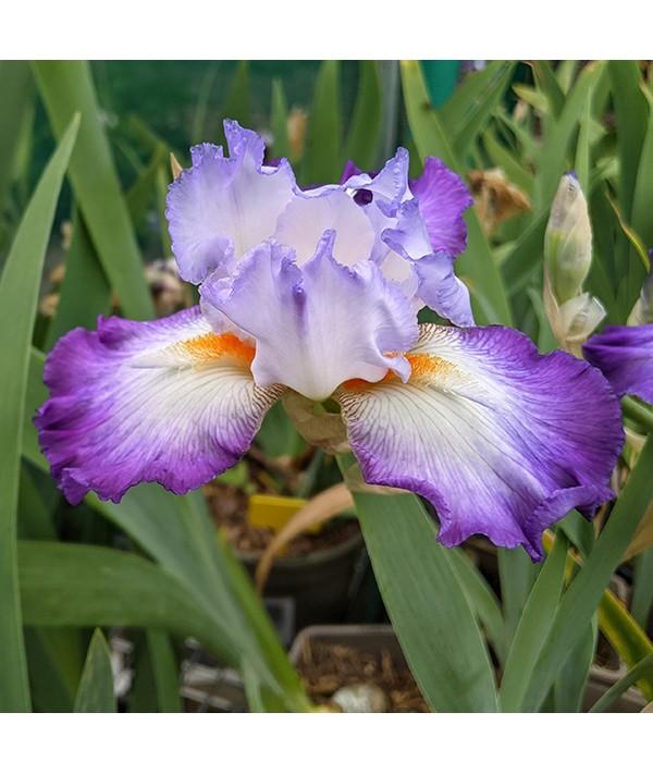 Iris Conjuration (TB) (1.5lt)