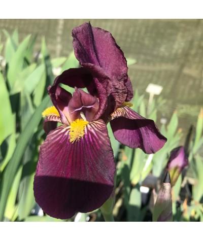 Iris Dwarf Cherry Garden (SDB) (3lt)