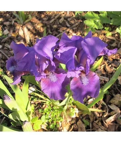 Iris Dwarf Ed's Blue (DB) (1lt)