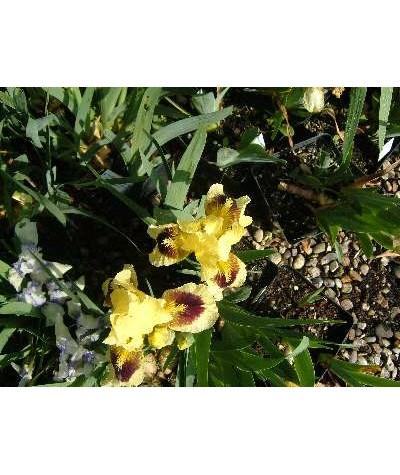 Iris Dwarf Pogo (SDB) (2lt)