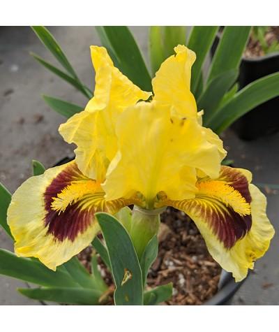 Iris Dwarf Pogo (SDB) (3lt)
