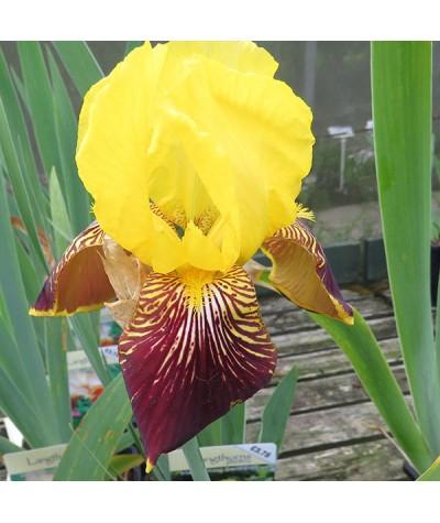 Iris Flaming Sword (TB) (3lt)