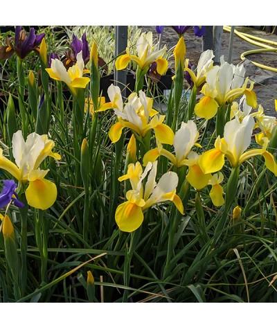 Iris hollandica Symphony (1lt)