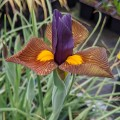 Iris hollandica Tigereye (1lt)