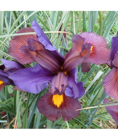 Iris hollandica Tigereye (1 x bulb)