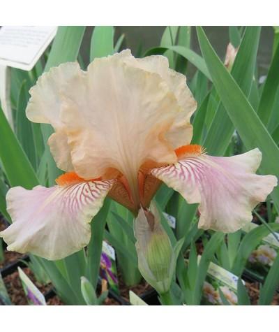 Iris June Rose (IB) (1lt)