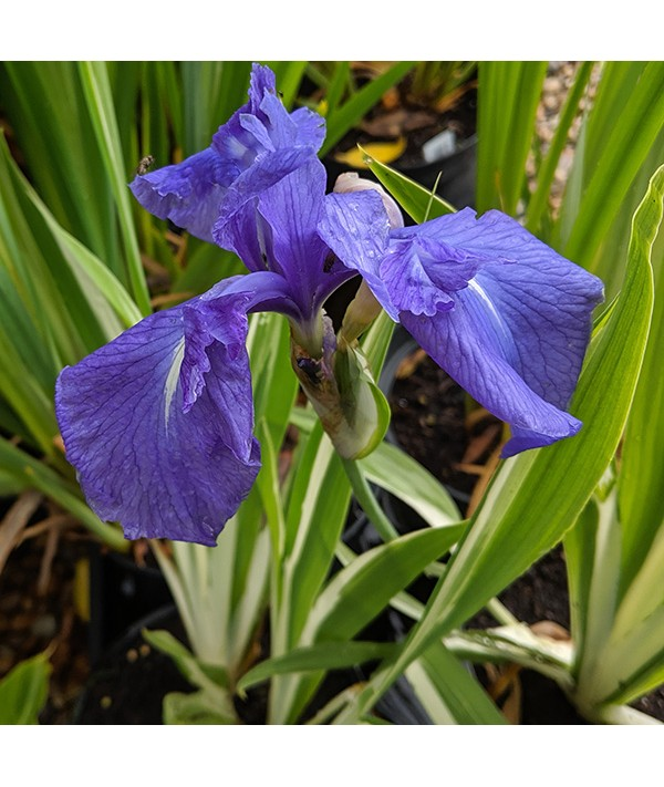 Iris laevigata Variegata (2lt)