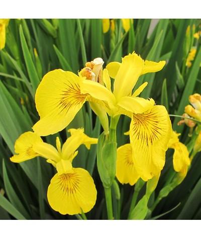 Iris pseudacorus  (3lt)