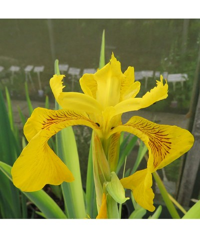 Iris pseudacorus Variegata (3lt)