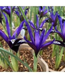 Iris reticulata Blue Note (1lt)