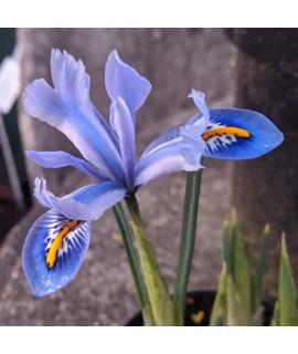 Iris reticulata Joyce (9cm)