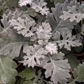 Jacobaea maritima Silver Dust (AKA Senecio Cineraria) (0.8lt)