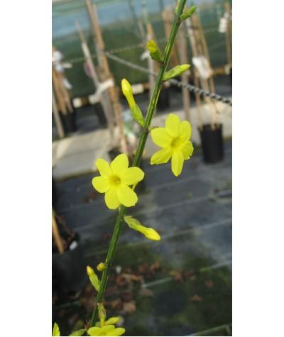 Jasminum nudiflorum aureum (2lt)