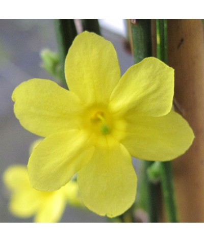 Jasminum nudiflorum (2lt)
