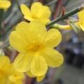 Jasminum nudiflorum Mystique (3lt)