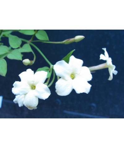 Jasminum officinale Clotted Cream (2lt)