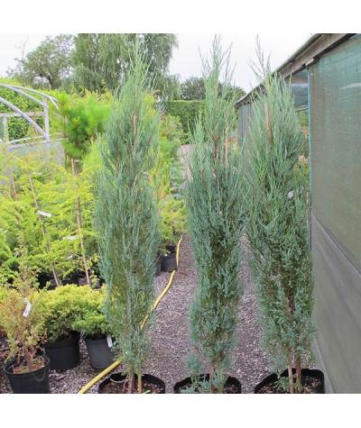 Juniperus scopulorum Blue Arrow (7.5lt)