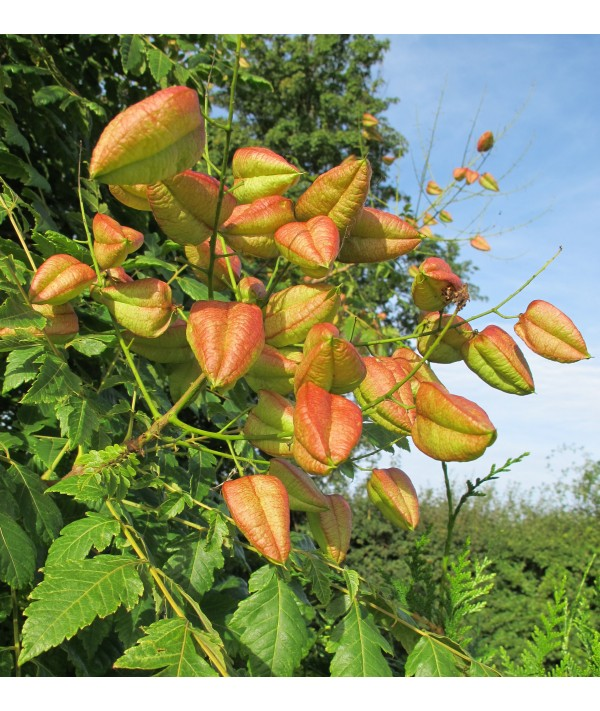 Koelreuteria paniculata fastigiata (17.5lt)