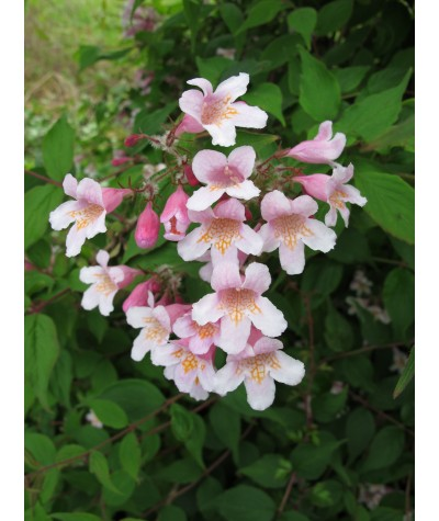Kolkwitzia amabilis Pink Cloud (5lt)