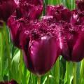 Tulipa Labrador (1 x bulb)
