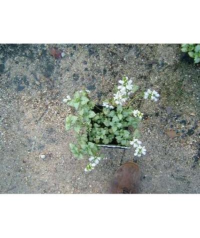 Lamium maculatum White Nancy (1lt)