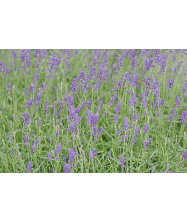 Lavandula angustifolia Munstead (1lt)